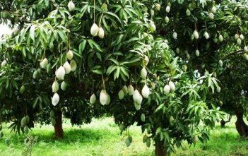 Mango_Garden